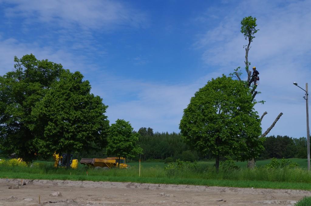En arborist klättrade högt upp i ett träd och tog bilden lite längre ner på sidan.